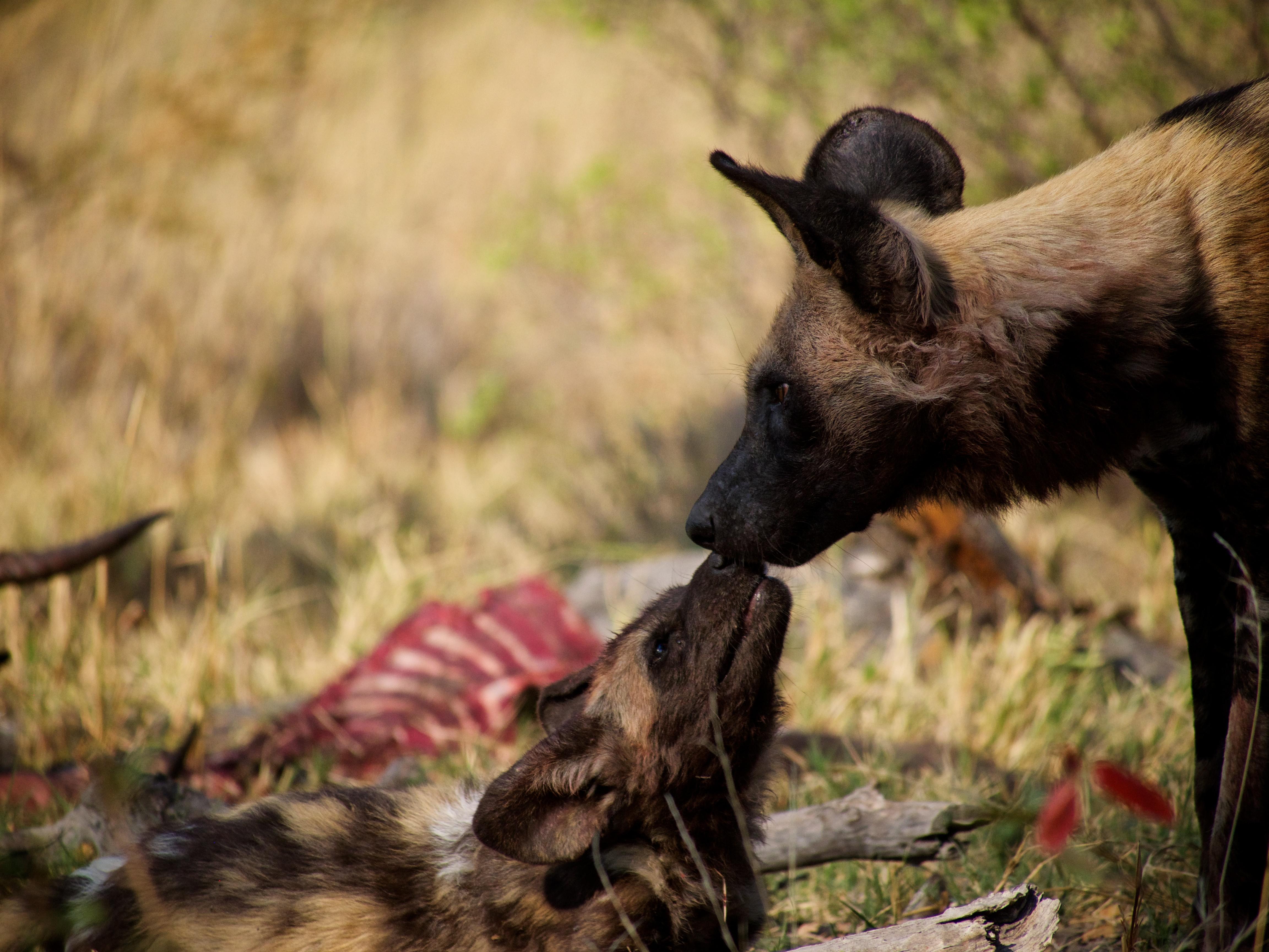 wild dog in botswana