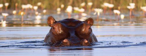 hippo motswiri
