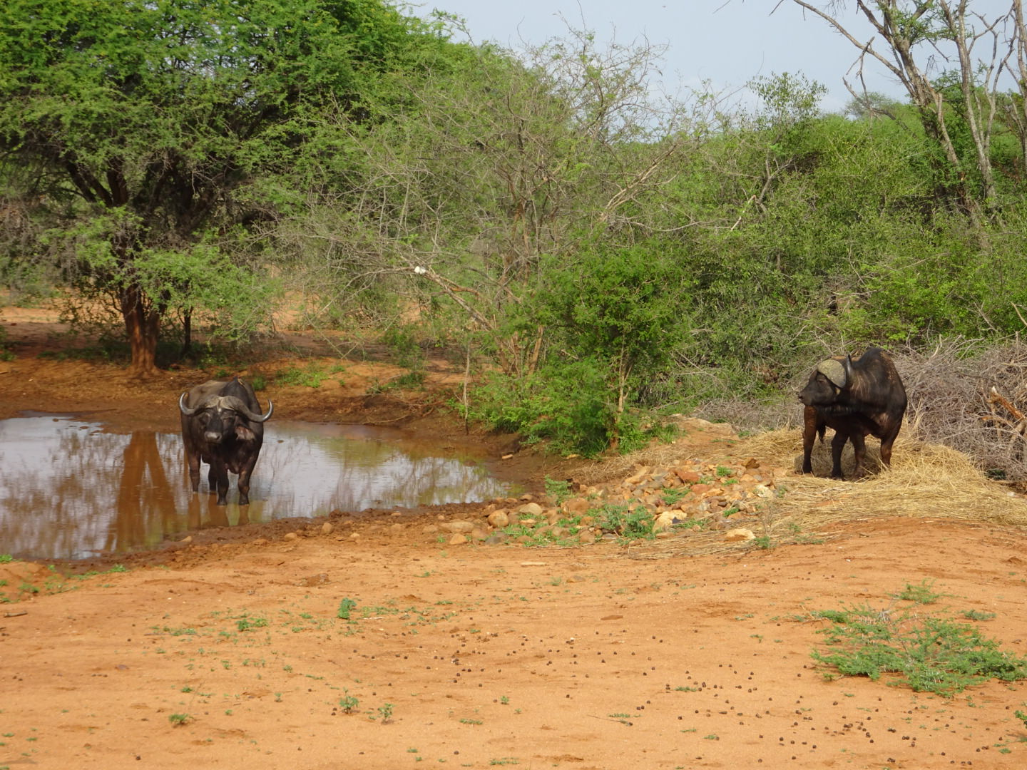 Two male buffalo cooling off - an exciting sighting from horseback