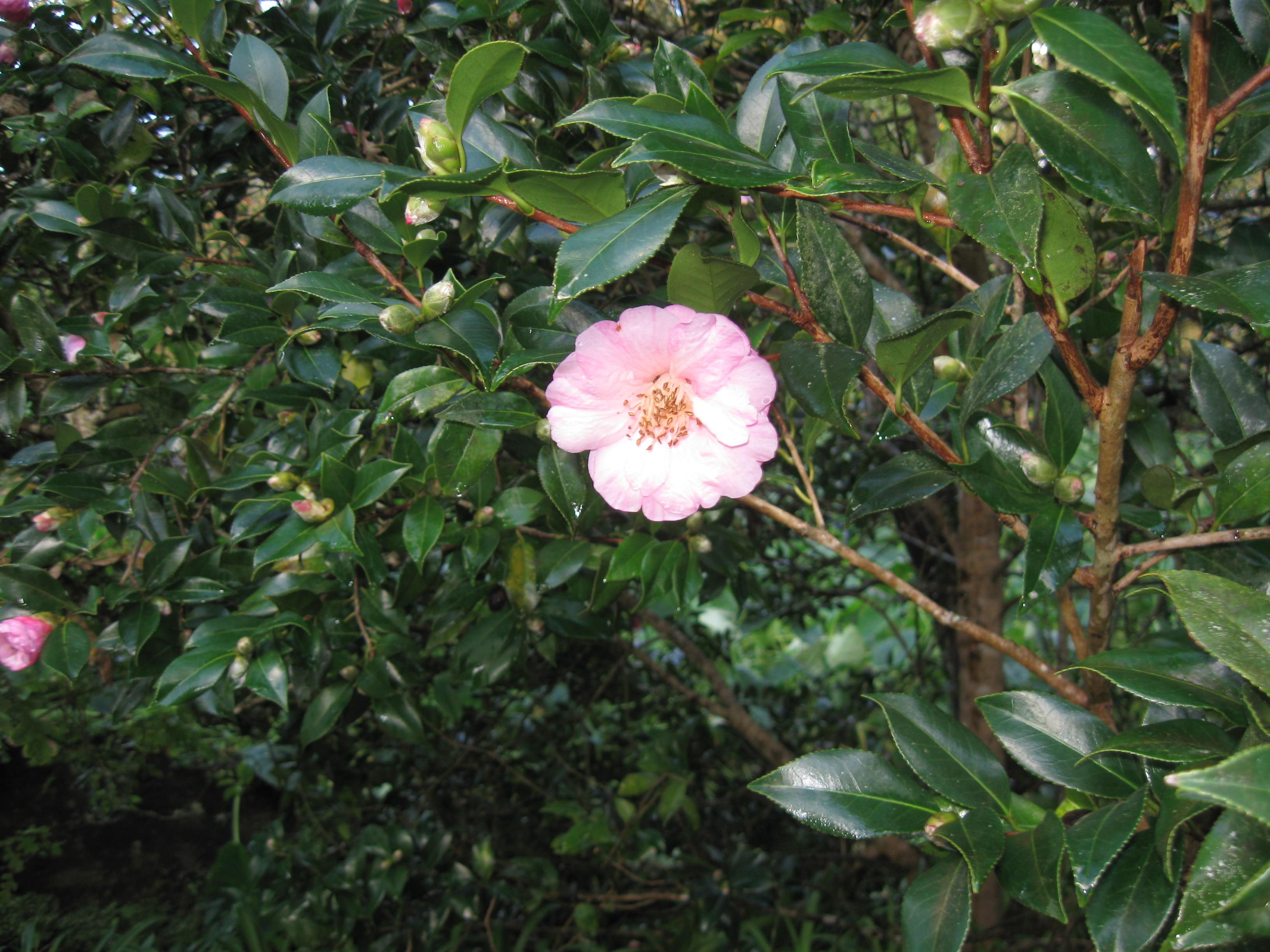 Camelia in bloom (in October) at Terra Nostra