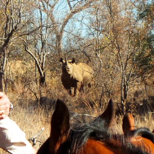 Black rhino encounter on horseback safari in South Africa