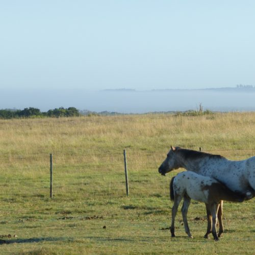 Mare & foal, Uruguay