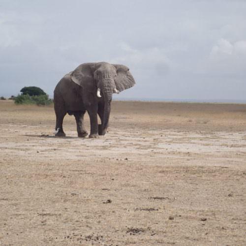 Ele in Tanzania