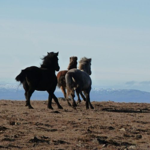 Horses cantering