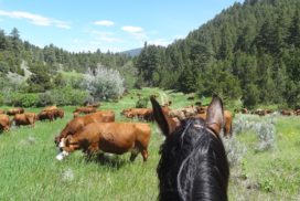 cattle and horses in montana