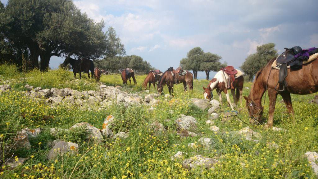 Horses grazing in Israel