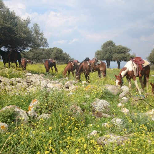 Horses grazing in Israel