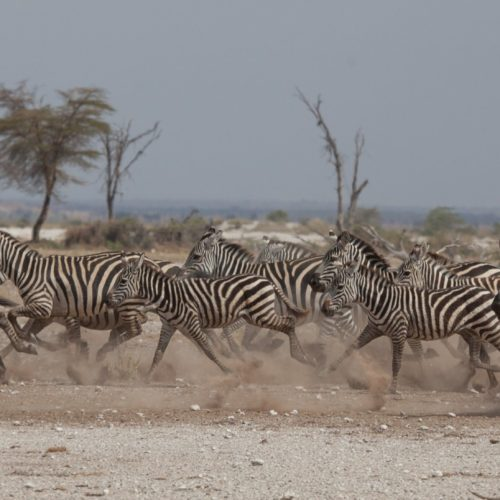 Kaskazi zebra gallop