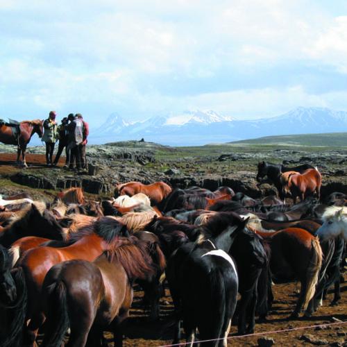 Iceland herd of horses