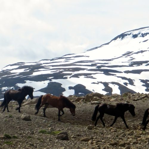 Iceland herd crossing mountains