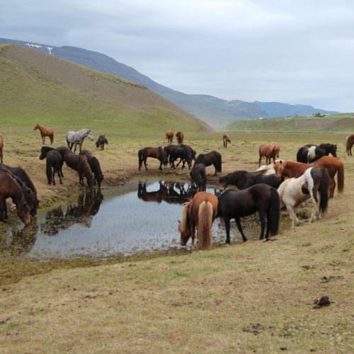 Iceland horses drinking