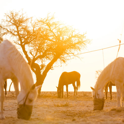 Horse picket line Namibia
