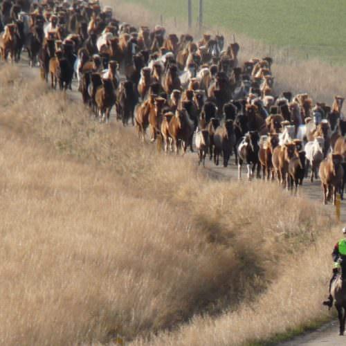 Islandsk hest rundt oppe