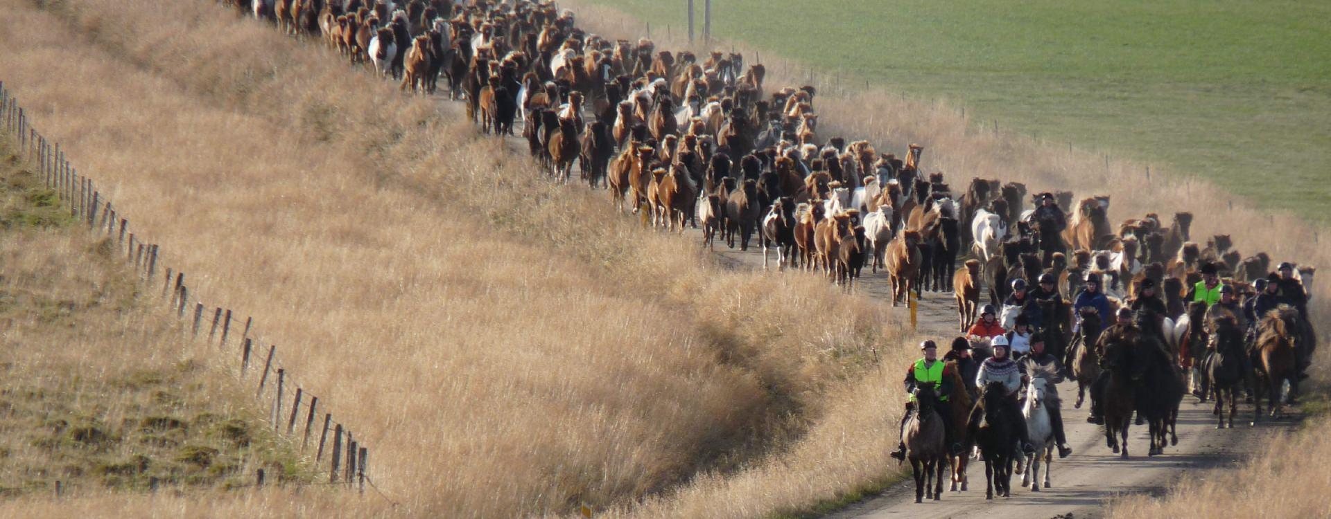 Icelandic horse round up