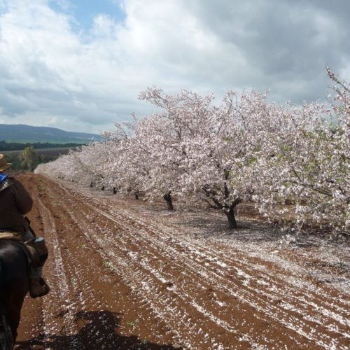 Israel almond orchard