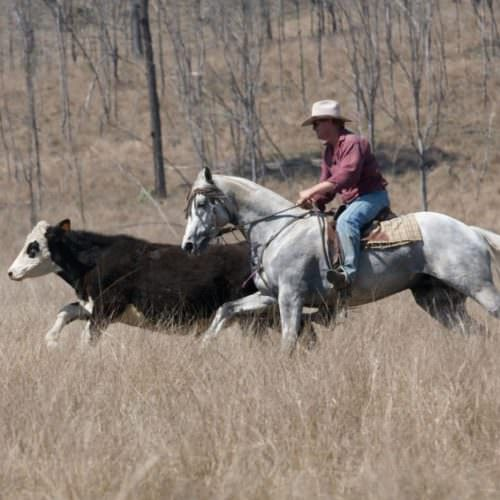 cattle mustering on horseback in Australia