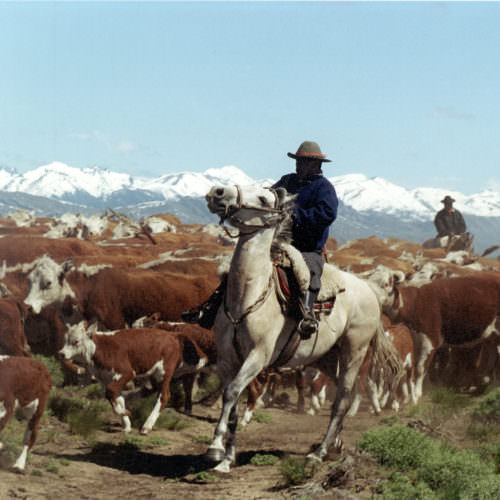 Cattle driving in the Andes on horseback.