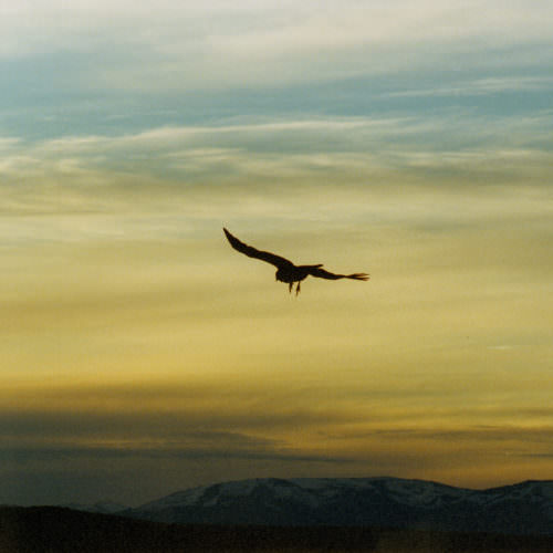 Eagle flying in the Andes. Estancia Huechahue