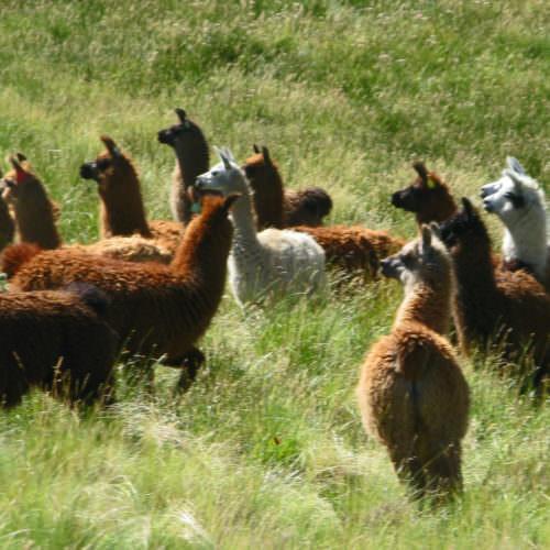 Alpacas in Argentina.