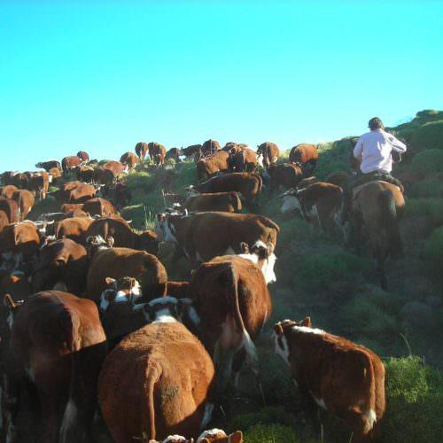 Cattle drive in Argentina. Estancia Huechahue