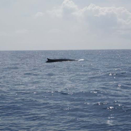 Whale watching. Azores.