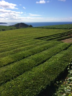 Azores riding holidays. Guest photos. Tea Plantation.