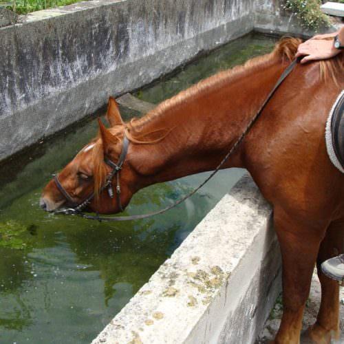 Chestnut horse drinking