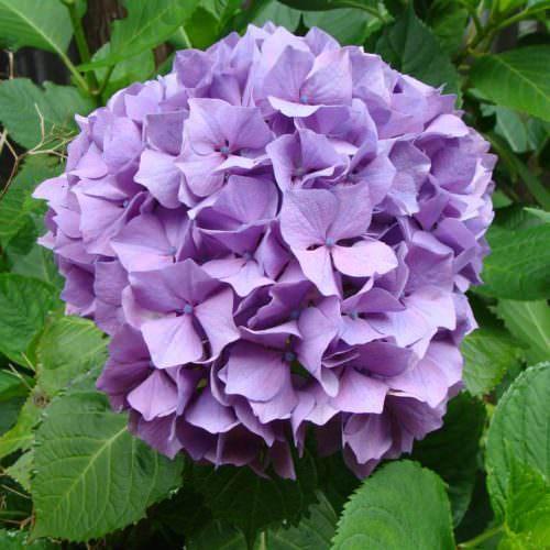 Stunning purple hydrangea. Azores flowers.