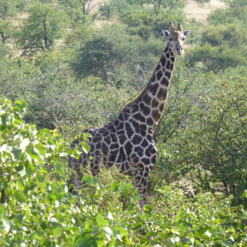 Tuli Trail mobile horseback safari holiday. Riding in Botswana. Giraffe.