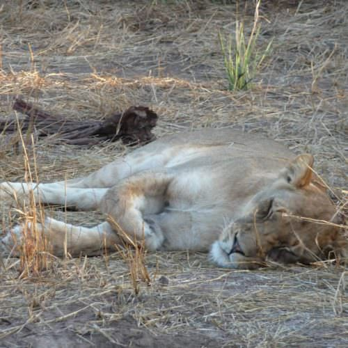 Tuli Trail mobile horseback safari holiday. Riding in Botswana. Lion sleeping.