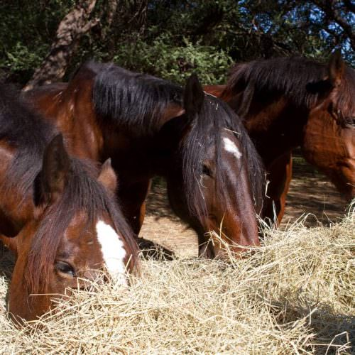 Tuli Trail mobile horseback safari holiday. Riding in Botswana. Horses eating hay.