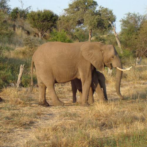 Tuli Trail mobile horseback safari holiday. Riding in Botswana. Elephant and calf.