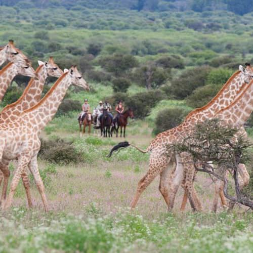 Tuli Trail mobile horseback safari holiday. Riding in Botswana. Horses and giraffe.