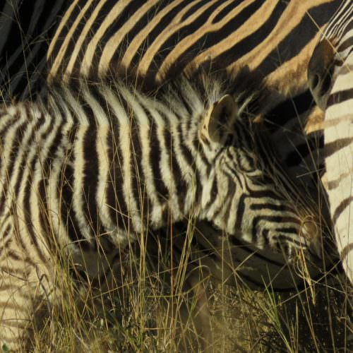 Zebra foal in Botswana. In The Saddle