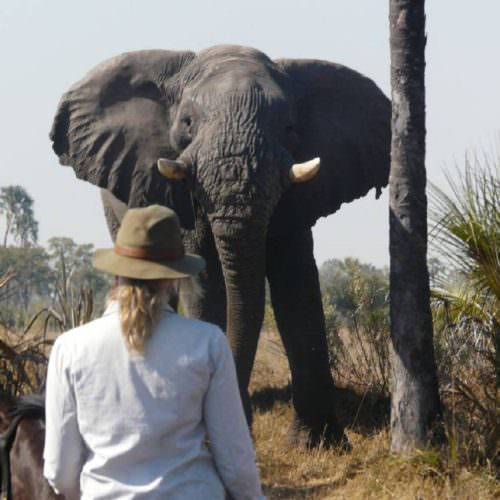 In The Saddle. Horse Riding Safari Holiday at Macatoo, Okavango Delta, Botswana. Elephant close-up.