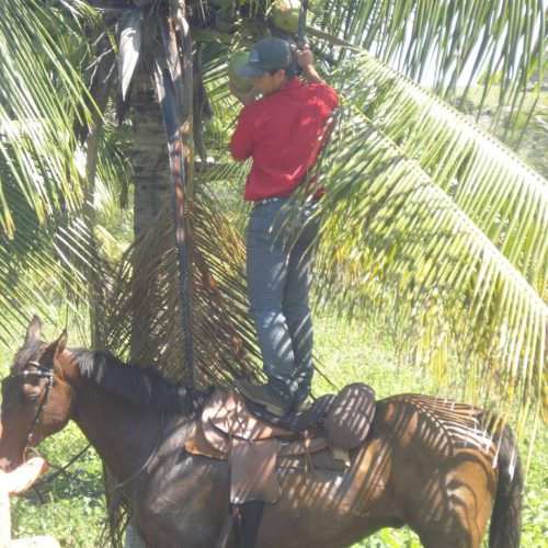 Riding Holidays in Brazil. Beach riding in Bahia. Horse, coconut palms.