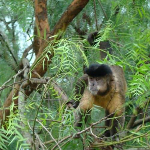 Trail riding holidays in the Pantanal, Brazil. Monkeys