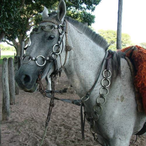 Trail riding holidays in the Pantanal, Brazil. Horse