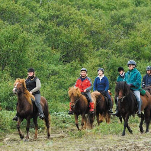 Iceland riding in birch forest