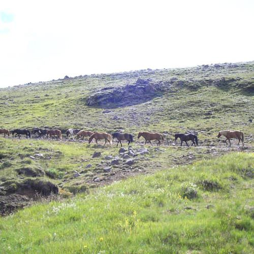 Iceland herd