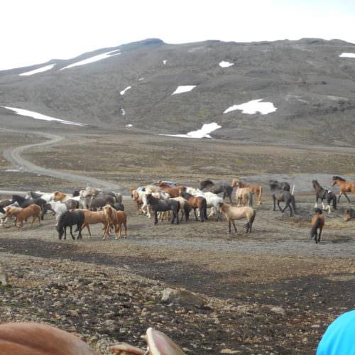 Iceland herd resting