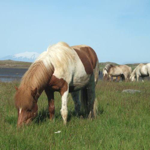 Snæfellsnes horses grazing
