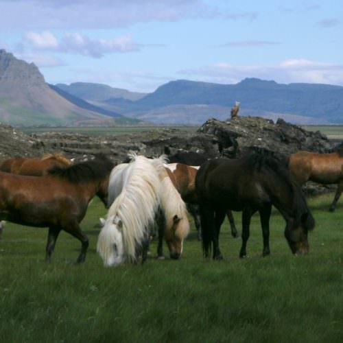 Iceland bird on rock