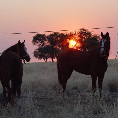 Horse picket line Namibia