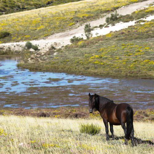 See wild Garrano horses