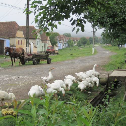 Riding holidays in Transylvania with In The Saddle. Horses and geese.