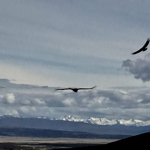 Condor in Chile
