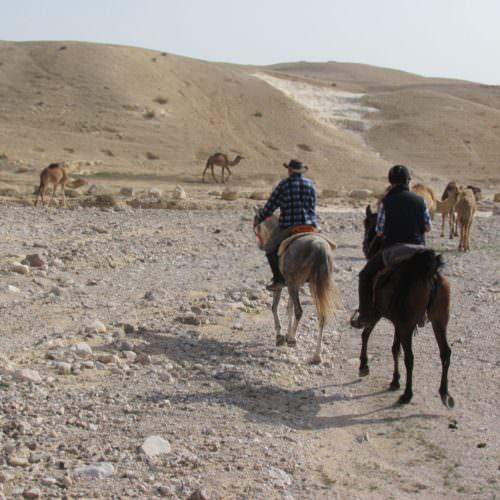 Israel desert camels