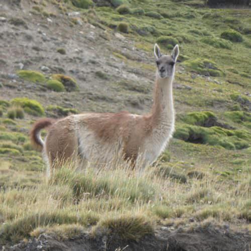 Chilean guanaco