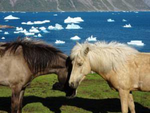 Greenland horses